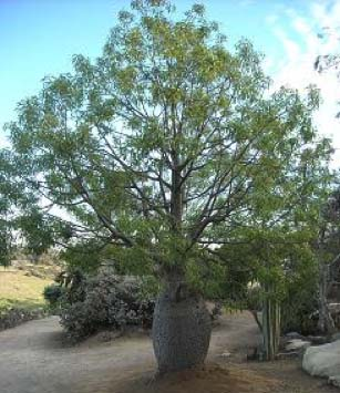 Trees multiflora enterprises tropical evergreen tree from australia noted for its enormously bulging trunk the trunk is many times wider in diameter than unusual for a tree its size mightylinksfo